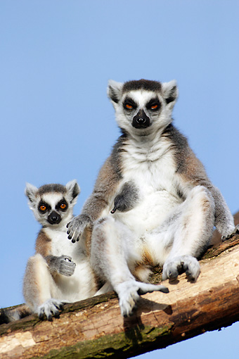 PRM 03 WF0001 01 © Kimball Stock Ring-Tailed Lemur Female With Young Sitting On Tree Branch