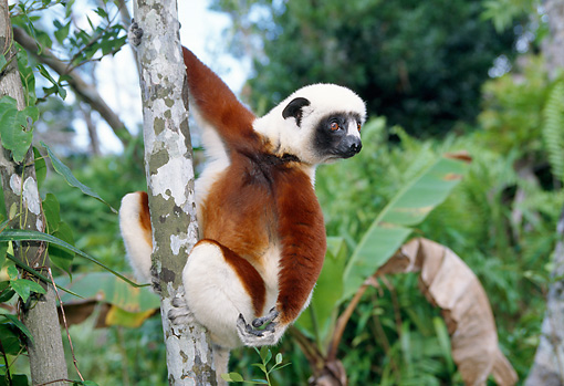 PRM 03 WF0002 01 © Kimball Stock Coquerel's Sifaka Sitting In Tree Madagascar