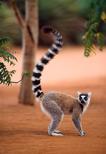 PRM 03 NE0002 01 © Kimball Stock Ring-Tailed Lemur Standing On Dirt By Tree Madagascar