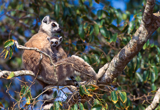 PRM 03 NE0003 01 © Kimball Stock Ring-Tailed Lemur Mother And Baby Sitting In Tree Madagascar