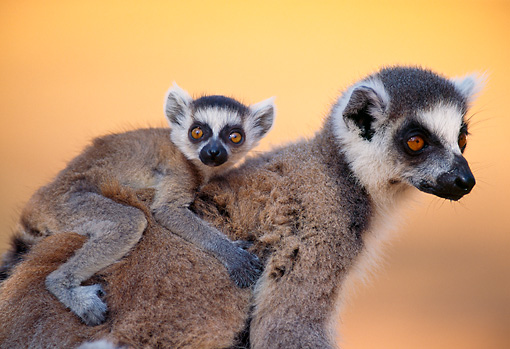 PRM 03 NE0004 01 © Kimball Stock Ring-Tailed Lemur Baby Riding On Mother's Back Madagascar