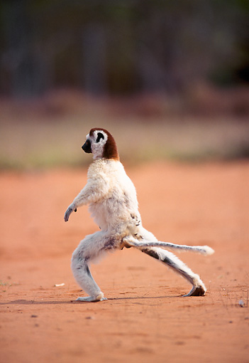PRM 03 NE0005 01 © Kimball Stock Verreaux's Sifaka Running On Dirt