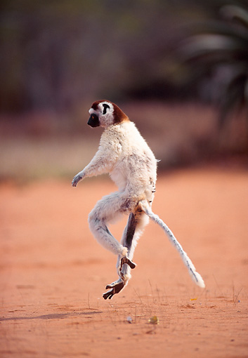 PRM 03 NE0006 01 © Kimball Stock Verreaux's Sifaka Running On Dirt