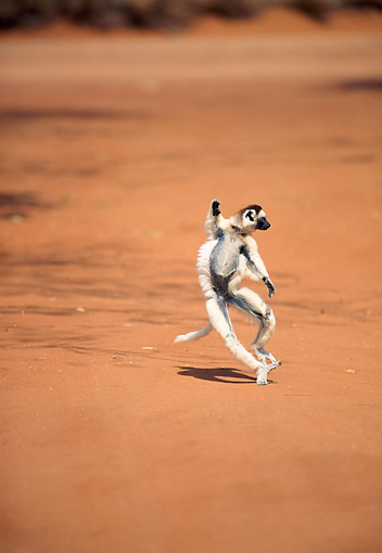 PRM 03 NE0007 01 © Kimball Stock Verreaux's Sifaka Running On Dirt