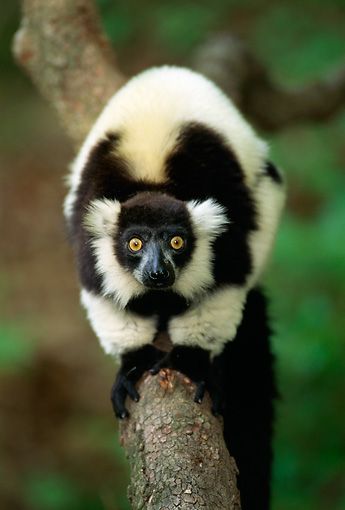 PRM 03 TL0001 01 © Kimball Stock Black And White Ruffed Lemur On Branch