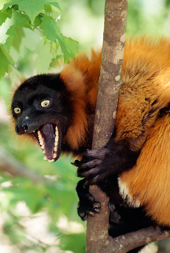 PRM 03 TL0002 01 © Kimball Stock Red Ruffed Lemur In Tree