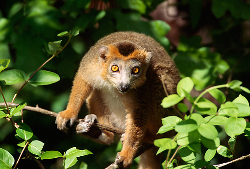 PRM 03 TL0004 01 © Kimball Stock Portrait Of Crowned Lemur Sitting In Tree Facing Camera