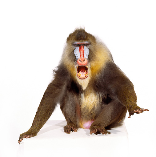 PRM 04 RK0016 06 © Kimball Stock Full Body Shot Of Mandrill Sitting On White Box Mouth Open White Seamless Background