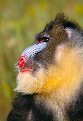 PRM 04 RK0026 02 © Kimball Stock Close Up Head Shot Of Mandrill Looking To Side