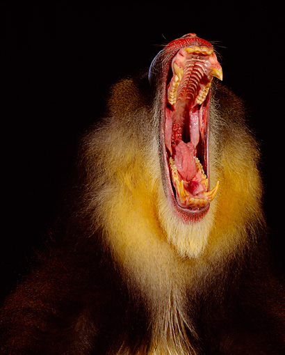 PRM 04 RK0005 09 © Kimball Stock Head Shot Of Mandrill With Mouth Open Teeth Showing Studio Background