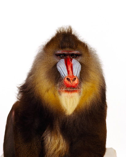 PRM 04 RK0010 02 © Kimball Stock Close Up Shoulder Shot Of Mandrill Facing Camera White Seamless Background