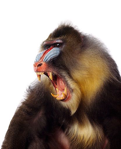 PRM 04 RK0015 01 © Kimball Stock Full Body Shot Of Mandrill Sitting On White Box Mouth Wide Open Showing Teeth White Seamless