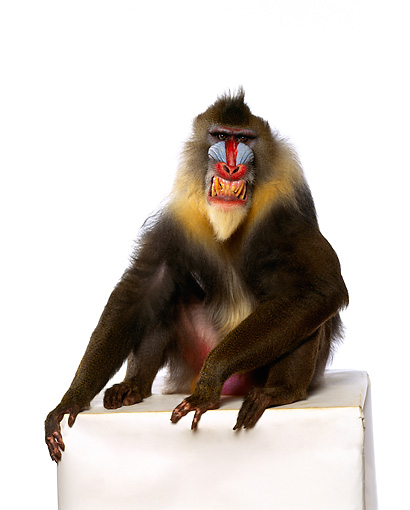 PRM 04 RK0017 01 © Kimball Stock Full Body Shot Of Mandrill Sitting On White Box Smiling Showing Teeth White Seamless Background