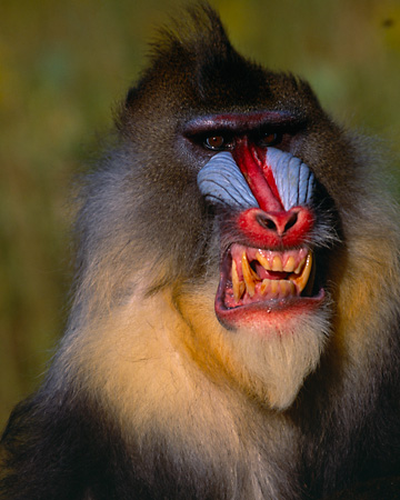 PRM 04 RK0028 02 © Kimball Stock Close Up Head Shot Of Mandrill Smiling Teeth Showing