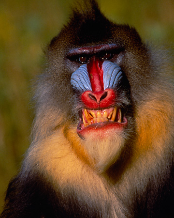 PRM 04 RK0028 03 © Kimball Stock Close Up Head Shot Of Mandrill Smiling Teeth Showing