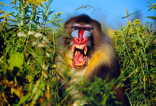PRM 04 RK0048 11 © Kimball Stock Mandrill Sitting In Tall Grass Field Baring Teeth Blue Sky