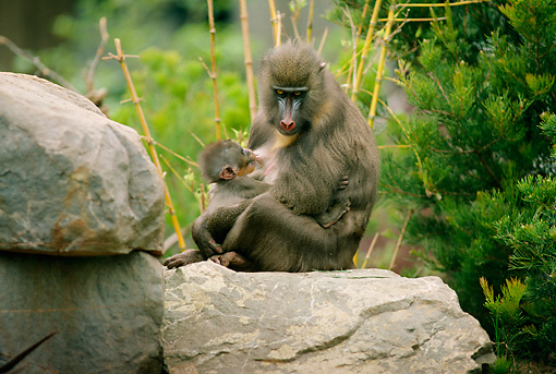 PRM 04 RK0050 04 © Kimball Stock Mandrill Mother Caring For Young