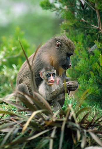 PRM 04 RK0050 07 © Kimball Stock Mandrill Mother Caring For Young