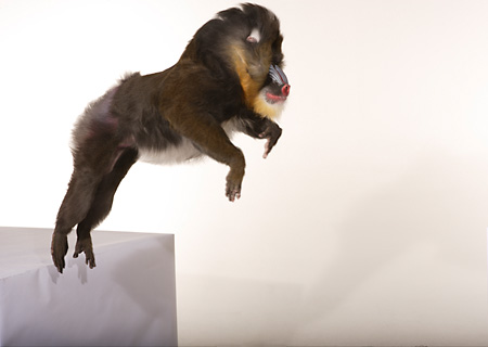 PRM 04 RK0067 01 © Kimball Stock Mandrill Jumping Off White Block White Seamless Background