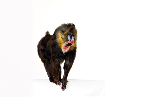 PRM 04 RK0076 01 © Kimball Stock Mandrill Standing On White Block Mouth Open White Seamless