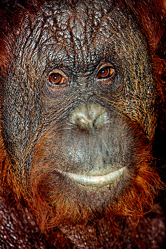 PRM 05 GL0001 01 © Kimball Stock Head Shot Of Male Orangutan Indonesia
