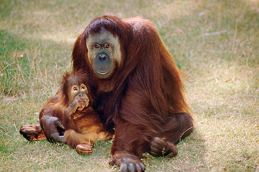 PRM 05 GL0003 01 © Kimball Stock Orangutan Mother And Baby Sitting On Grass