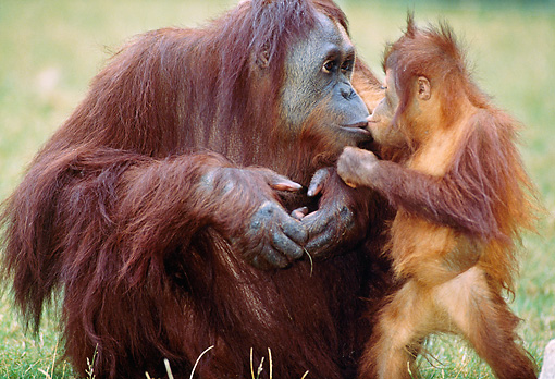 PRM 05 GL0004 01 © Kimball Stock Close-Up Of Orangutan Mother And Baby Sitting On Grass Kissing