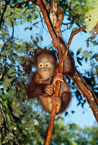 PRM 05 GL0005 01 © Kimball Stock Orangutan Baby Clinging To Tree Branch