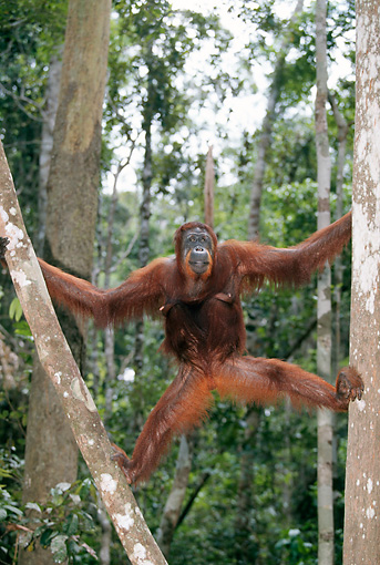 PRM 05 GL0006 01 © Kimball Stock Orangutan Climbing Between Two Trees