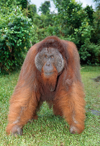 PRM 05 GL0007 01 © Kimball Stock Elderly Orangutan Standing On Grass
