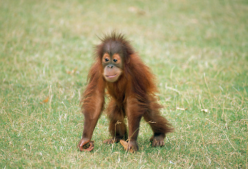 PRM 05 GL0008 01 © Kimball Stock Baby Orangutan Walking On Grass