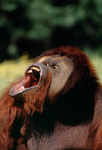 PRM 05 GL0009 01 © Kimball Stock Head Shot Of Orangutan Vocalizing In Jungle