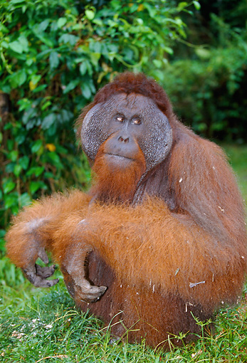 PRM 05 GL0010 01 © Kimball Stock Portrait Of Orangutan Sitting In Jungle