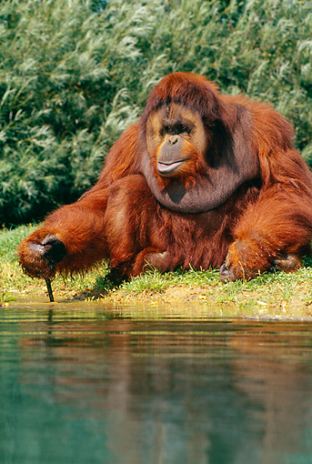 PRM 05 GL0012 01 © Kimball Stock Orangutan Sitting On Grass By Pond
