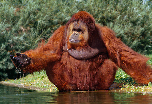 PRM 05 GL0013 01 © Kimball Stock Orangutan Sitting On Grass By Pond