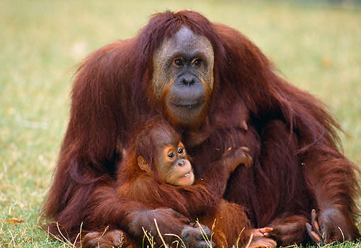 PRM 05 GL0014 01 © Kimball Stock Orangutan Mother And Baby Sitting On Grass