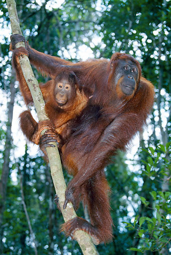 PRM 05 GL0015 01 © Kimball Stock Orangutan Adult And Young Climbing On Tree In Jungle