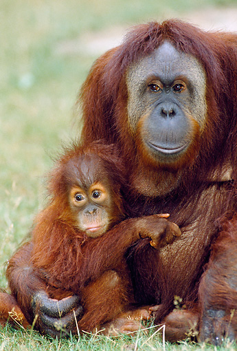 PRM 05 GL0018 01 © Kimball Stock Portrait Of Orangutan Mother Sitting With Baby On Grass