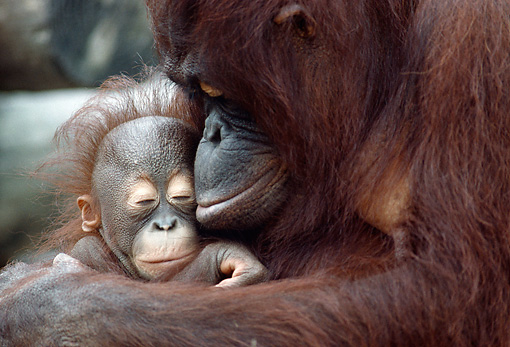 PRM 05 GR0024 01 © Kimball Stock Close-Up Of Orangutan Mother Holding Baby