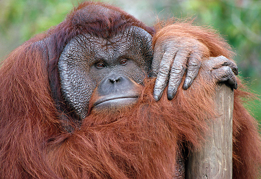 PRM 05 GR0025 01 © Kimball Stock Close-Up Of Orangutan Leaning On Wooden Post