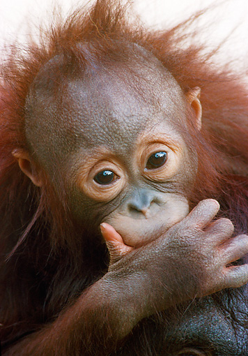 PRM 05 GR0026 01 © Kimball Stock Portrait Of Baby Orangutan In Studio