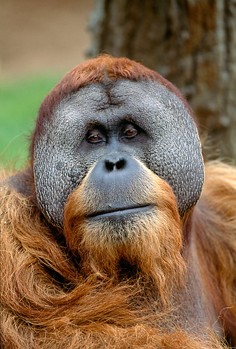 PRM 05 MH0001 01 © Kimball Stock Head Shot Of Orangutan In Jungle
