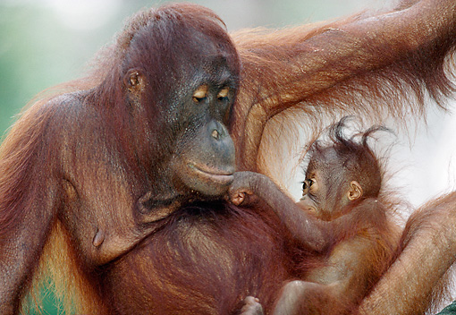 PRM 05 MH0003 01 © Kimball Stock Close-Up Of Orangutan Mother Holding Baby In Jungle