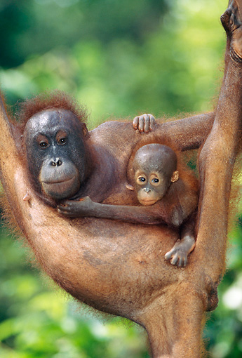 PRM 05 MH0004 01 © Kimball Stock Orangutan Mother Holding Baby While Hanging From Tree Branch