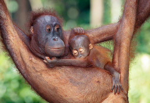PRM 05 MH0005 01 © Kimball Stock Orangutan Mother Holding Baby While Hanging From Tree Branch