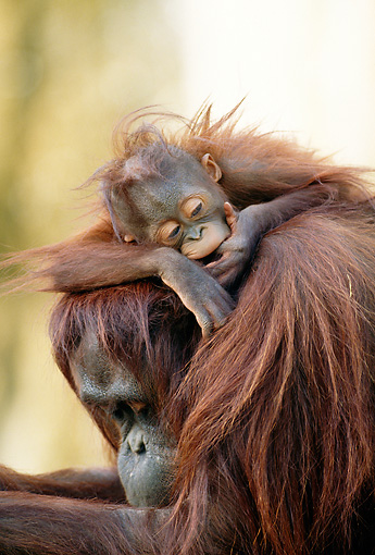 PRM 05 MH0006 01 © Kimball Stock Portrait Of Orangutan Baby Resting On Mother's Back