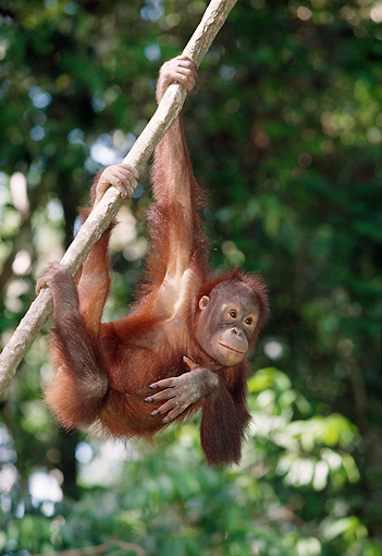 PRM 05 MH0007 01 © Kimball Stock Young Orangutan Hanging From Tree Branch