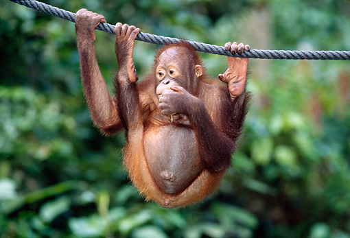 PRM 05 MH0008 01 © Kimball Stock Young Orangutan Hanging From Rope In Jungle