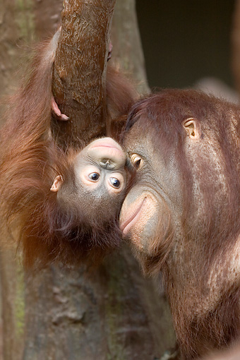 PRM 05 WF0001 01 © Kimball Stock Portrait Of Orangutan Mother Nuzzling Young