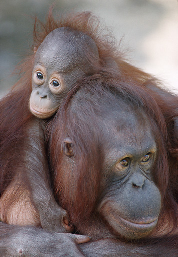 PRM 05 GR0001 01 © Kimball Stock Close-Up Of Baby Orangutan Sitting On Mother's Back